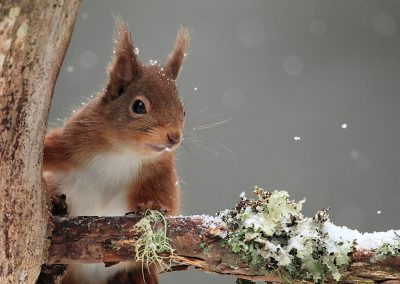 Red Squirrel (Sciurus vulgaris) in Falling Snow