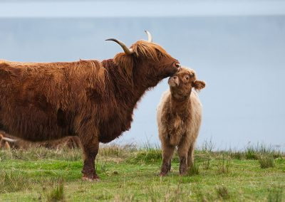 Momma and calf on a hill