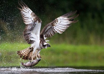 Osprey fishing and hunting on a Scottish loch.