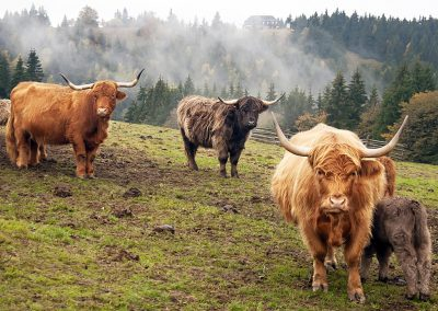 Highland cow in the Rychory, part of Krkonose national park