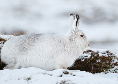 Mountain Hare (Lepus timidus) in snow